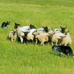herding dog training