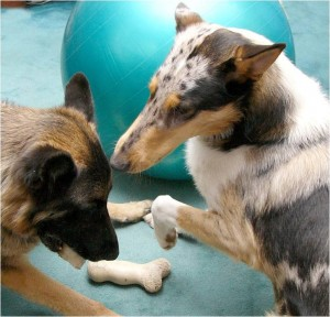 Canine Behavior CBCC-KA Study Course