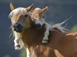 Horses-foal
