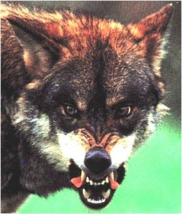 Wolf Behavior-How it relates to training dogs