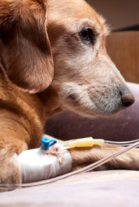 IV Nutrition in Dogs