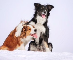 BorderCollies_Black-Brown