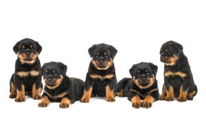 Puppies_Rotties