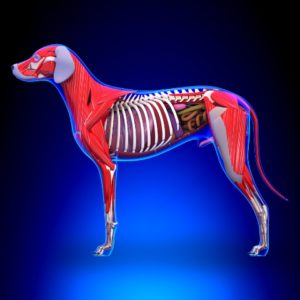 Anatomy and Physiology of the Dog