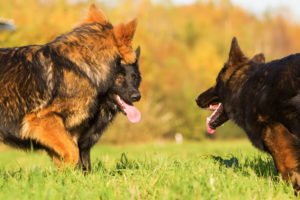 Canine Ethology Body Language and Observational Skills